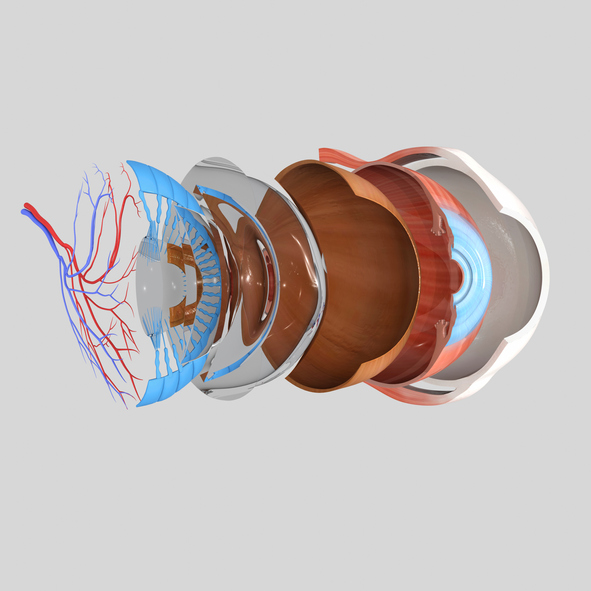 The Inner Working Of The Eye